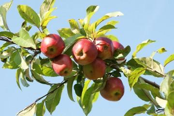 Taille de fruitiers